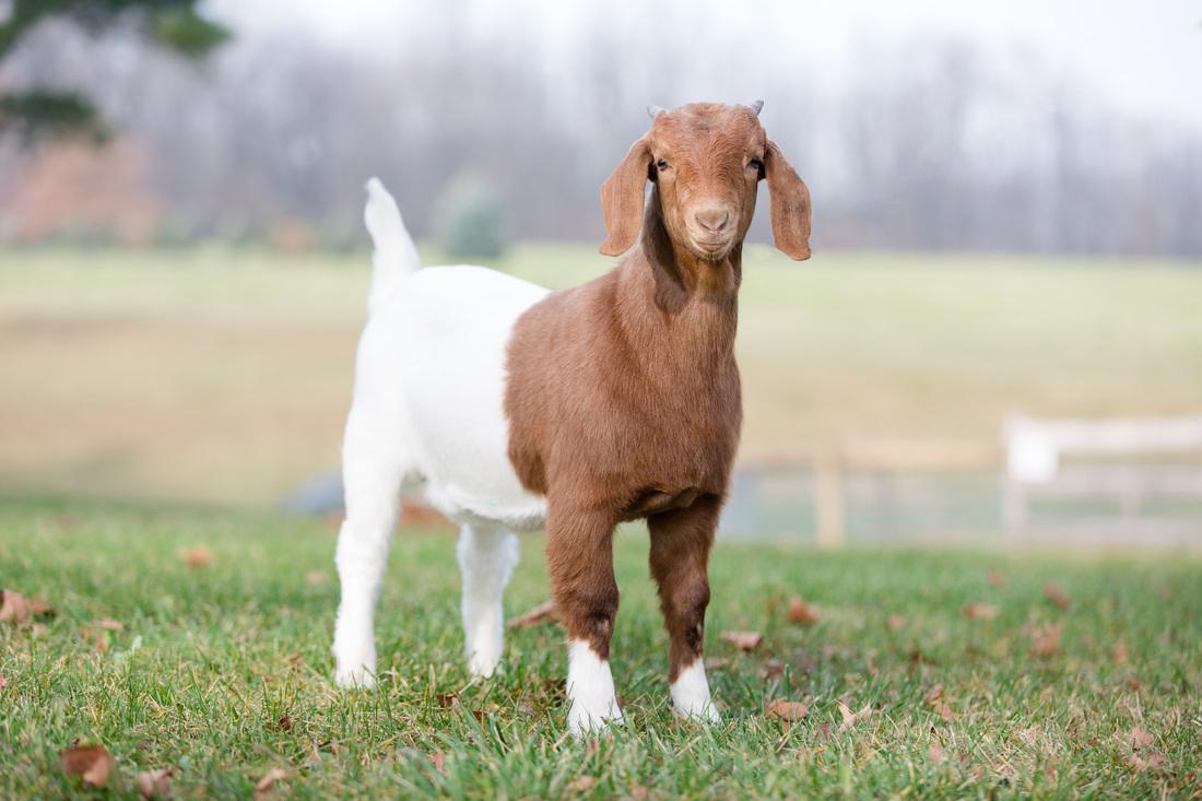 boer goat face